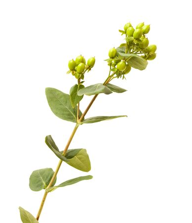 Branch of Hypericum androsaemum with green berries isolated on white background Stock fotó