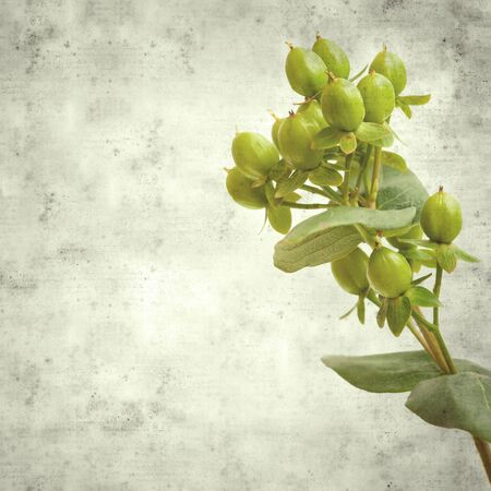 textured stylish old paper background, square, with green berries of florist Hypericum