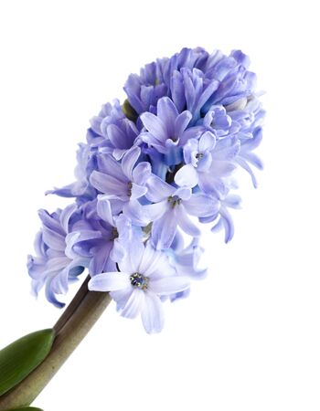 blue hyacinth isolated on white, forced winter bulb Фото со стока