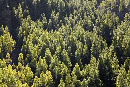Gran Canaria, slopes leading to Roque Nublo reforested a few decades ago, Canary pines all the same age, shape and size Stock Photo