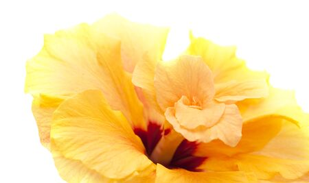 single large double orange hibiscus isolated on white background 免版税图像