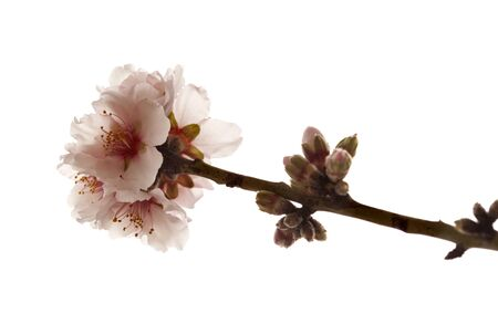 Horticulture of Gran Canaria - almond blossoms,  almonds are important for the economy of the island
