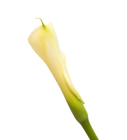 single unopened calla lily isolated on white background