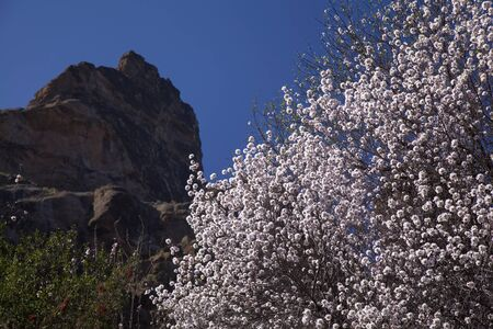 Gran Canaria, end of January, flowering almond trees in Caldera de Tejeda