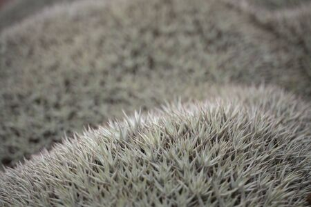 Dense mat of grownd-cover plant Deuterocohnia brevifolia, native to South America