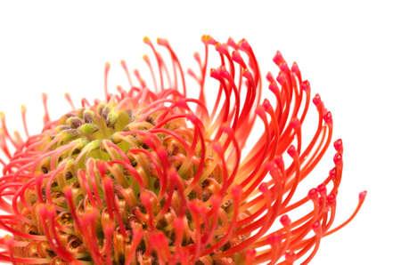 Red Leucospermum, AKA pincushion protea isolated on white background