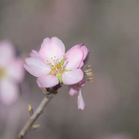 Horticulture of Gran Canaria - almond trees blooming in Tejeda in January, macro floral background