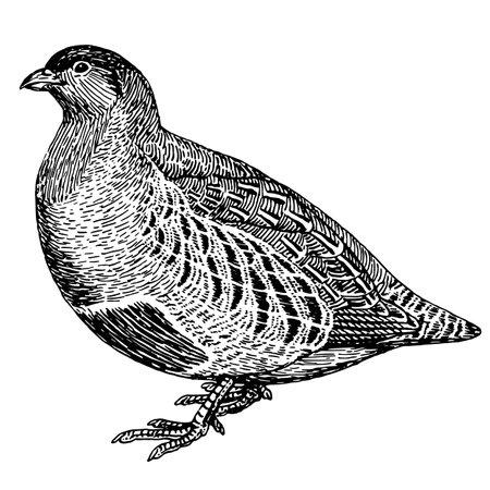 kuropatwa: Sketch tattoo partridge