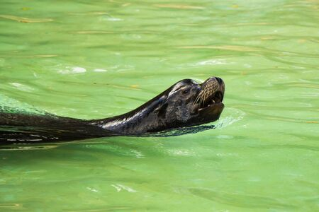 Sea lion in the water, Berlin zoo, Germany