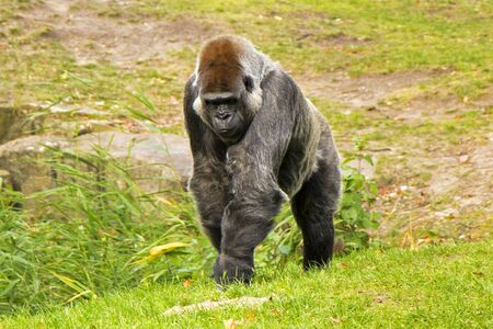 Gorilla in the Zoo, Wildlife animal scene,mammal on the green grass Berlin, Germany. Imagens