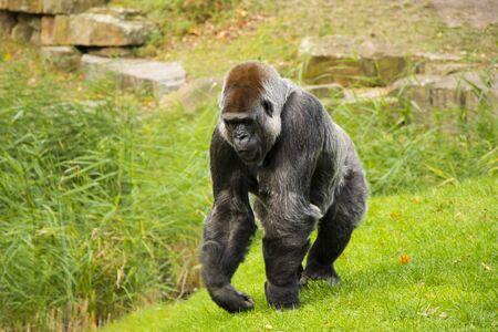 Gorilla in the Zoo, Wildlife animal scene,mammal on the green grass Berlin, Germany.