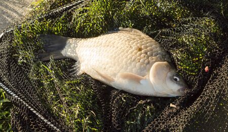 limnetic: Fish in the net on the lake