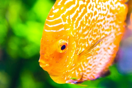 discus: Orange discus fish in aquarium.