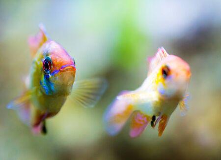 apistogramma: Two malawi cichlid in aquarium.