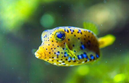 boxfish: Yellow Cubicus Boxfish in Aquarium.
