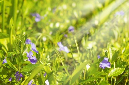 minor: Purple blue flowers of periwinkle in the sun - vinca minor Stock Photo