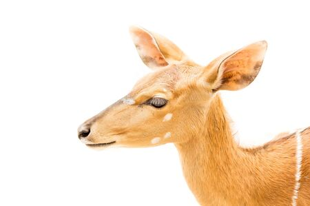 capreolus: European Roe Deer, Capreolus capreolus, on isolated white background. Stock Photo