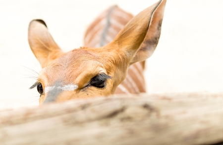 eyecontact: Young deer behind the fence.