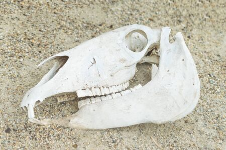 cranial: Reptiles skull in the sand. Stock Photo
