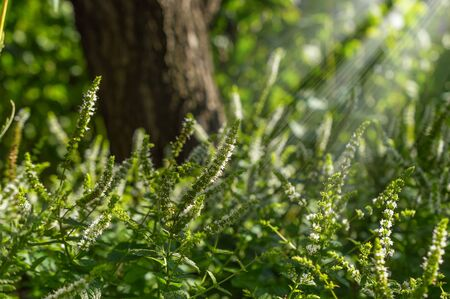 acanthus mollis: Physostegia in the sunlight afternoon.