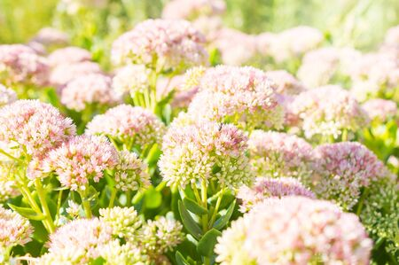 Pink flowers of sedum with sunlight and little fly. Stock Photo
