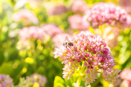 Insects collecting pollen from flowers of the spirea at the beautiful blurred background.