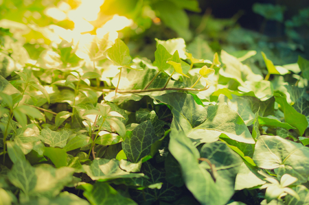 purples: Ivy leaves in the garden with sunset. Stock Photo
