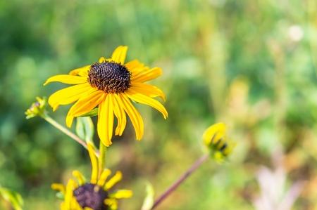 susan: Black eyed Susan Macro in autumn.