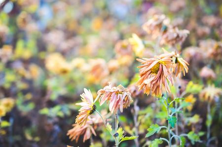 Dried yellow plants and flowers in winter Stock Photo