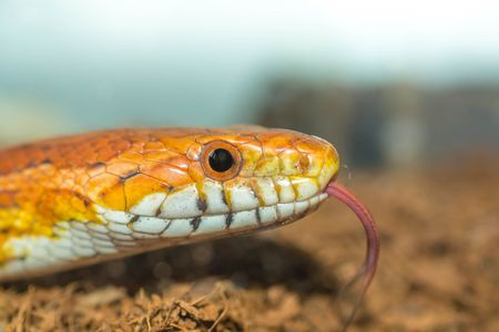 Cornsnake hunting for food with its toungue poking out
