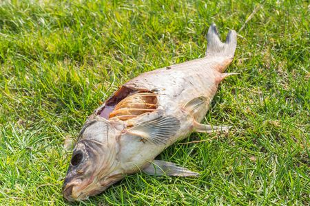 Carcass of a dead fish laying in green grass Stock Photo