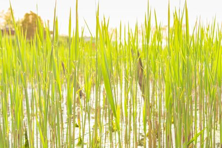 Green cattail texture in the sunset Stock Photo
