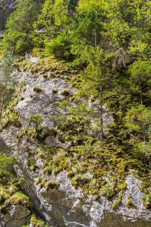 Pine trees on mountain rocks in Transylvania, Romania