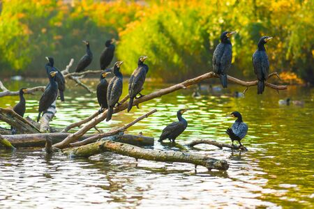 Black cormorant birds sitting on banches in autumn.