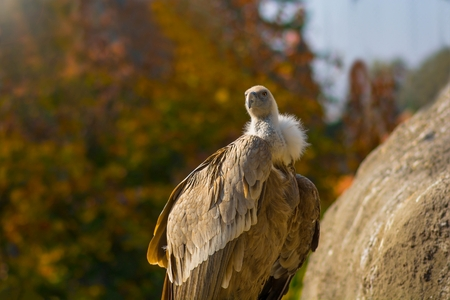 Portrait of scavengers vulture in the sunset- Gyps fulvus. Stock Photo