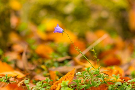 Blue-purple bellflower- Campanula rapunculoides wildflower closeup macro.