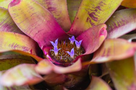 Close up top view little purple flower blooming in bromeliad with water tank inside and around the leaves.