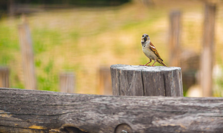 House sparrow - Passer domesticus on an old wooden fence with food in his beak