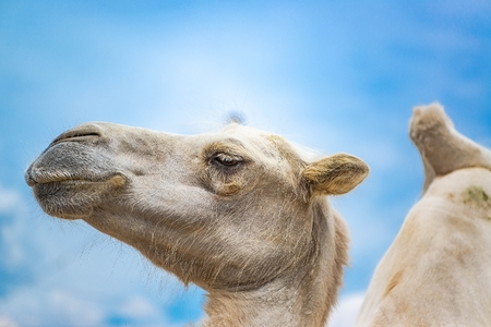 The head of camel close up against blue sky