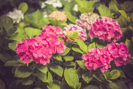 Pink Hydrangea flower Hydrangea macrophylla blooming in summer in a garden Stock Photo
