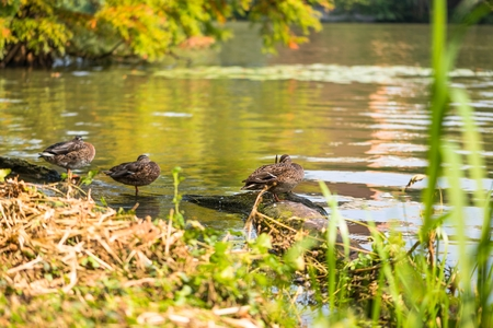 Mallard duck sunbathing on the lake shore