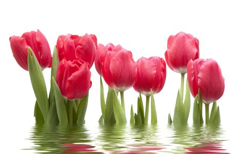 Isolated tulips on white, blended with water reflection.