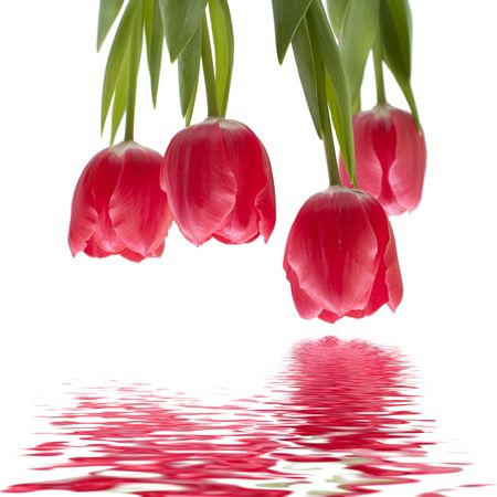 Isolated tulips on white, blended with water reflection, upside down.
