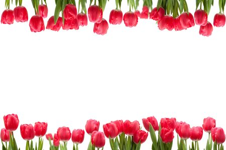 Isolated tulip frame arrangement, on a white background.