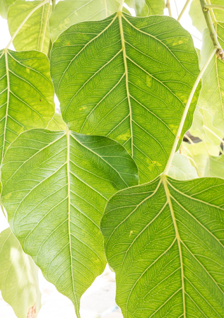 Leaves of Bodhi Tree photo