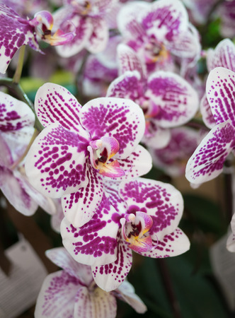 closeup purple orchid in the garden