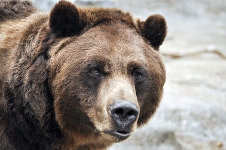 Closeup of grizzly bear