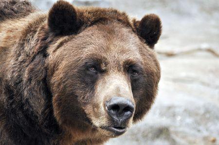 grizzly: Gros plan de grizzli