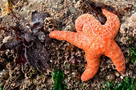 Orange starfish holding a scary barnacle head while stuck to a rock.  Gold Beach, Oregon Stock Photo - 8557959