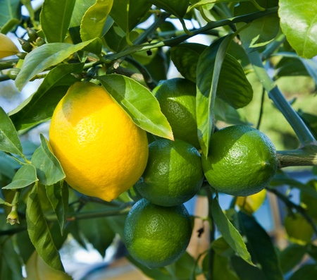 Ripe and unripe lemons on a tree growing in California